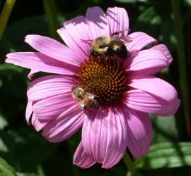 FlowerBeecrop